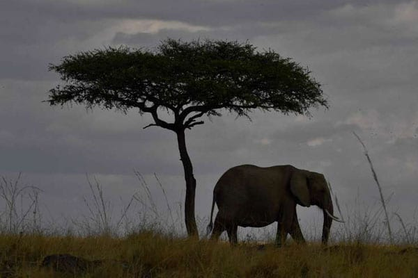 An elephant walks past a tree during the annual